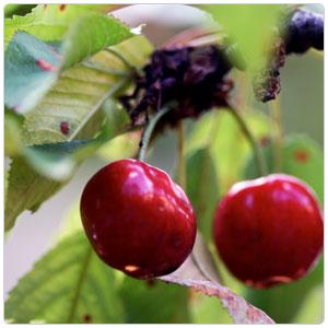 Puree - Cherry