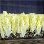 Coraline Chicory