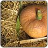 Squash - Amish Pie